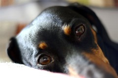 My Brown Eyed Girl (Neville_S) Tags: brown black eye love beautiful 50mm hotdog amazing eyes bokeh dachshund canon350d tess browneyes mydog sausagedog canon305d nevillesukhiaphotography