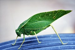 Katydid (mattpitchford) Tags: insects bugs oldlenses oldglass katydid