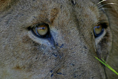Lion, Kruger Park, South Africa (Apr 2006) (Cor Lems) Tags: life africa park wild game bird animal canon southafrica 300d wildlife south lion reserve 2006 april afrika reserves kruger zuid wildlifeafrica