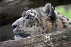 Snow leopard (dbillian) Tags: cats animal animals cat zoo feline san francisco leopard bigcat felines damon bigcats snowleopard zoos leopards snowleopards damonbillian billian