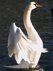 Mute Swan (Rob Verhoeff) Tags: bird birds geotagged waterbird olympus waterbirds e500 40150mm geo:lat=46448887 geo:lon=7441885