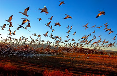 Fright Flight of the Snow Geese (Fort Photo) Tags: red newmexico bird nature birds animal animals landscape geese bravo earth quality wildlife flock birding flight aves goose bosque ave birdsinflight nm waterfowl ornithology bosquedelapache avian 2007 bif snowgeese abw anatidae snowgoose anseriformes chencaerulescens magicdonkey 100faves 50faves featheryfriday birdphoto anserinae nikonstunninggallery specanimal animalkingdomelite abigfave shieldofexcellence anawesomeshot colorphotoaward flickrplatinum megashot