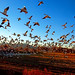 Fright Flight of the Snow Geese - by Fort Photo