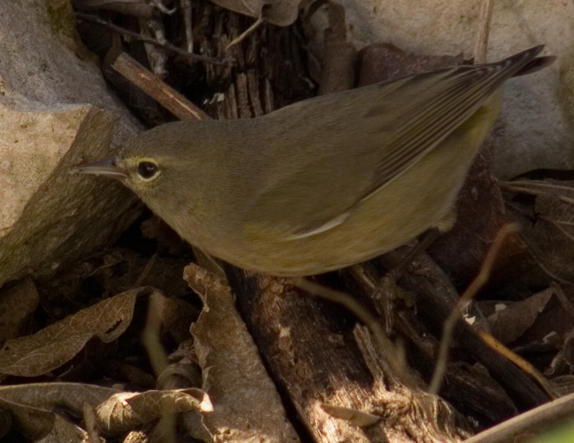 Orange-crowned warbler 2