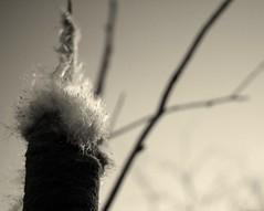 last light (MaureenShaughnessy) Tags: winter light cold color texture montana pattern quiet seasons bokeh fluff seeds wetlands form rebelxt cattail afternoonlight quietlife coldseason seasonalrhythms lastlgiht seasonalrhythmsformwinter seasonalrhythmswinter seasonalform