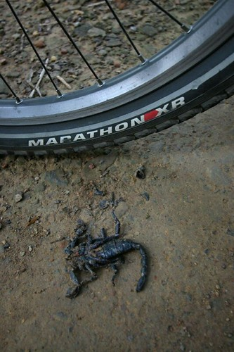 Dead scorpion in Cat Tien...