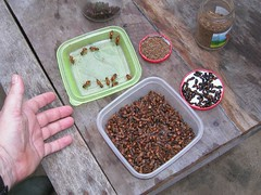 I ate these - ants in the Amazon 2003