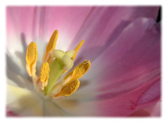 Pretty in Pink (~Dezz~) Tags: pink flower macro yellow bravo raw border stamen tulip excellence flowercenter canoneos400d canondigitalrebelxti aplusphoto
