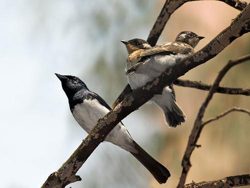 Satin Flycatchers