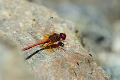 Trithemis arteriosa (Bob Reimer) Tags: fieldtrip oman enhg trithemisarteriosa wilayatmahdah afrathe