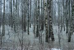 Birch mangrove? (aixcracker) Tags: winter suomi finland vinter nikon january talvi porvoo januari tammikuu borg nikond200