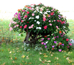 I Miss...Wheelbarrows (deu49097) Tags: flowers autumn wheelbarrow impatiens