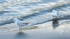 Black-Headed Gulls on Thames foreshore in Rotherhithe