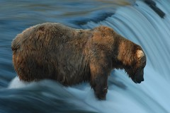Patience (Dave Schreier) Tags: bear camp alaska waterfall bravo quality grizzly brooks patience rightplacerighttime outstandingshots instantfav specanimal animalkingdomelite mywinners abigfave ultimateanimalphotography impressedbeauty
