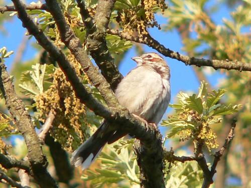 693 Lark Sparrow 03