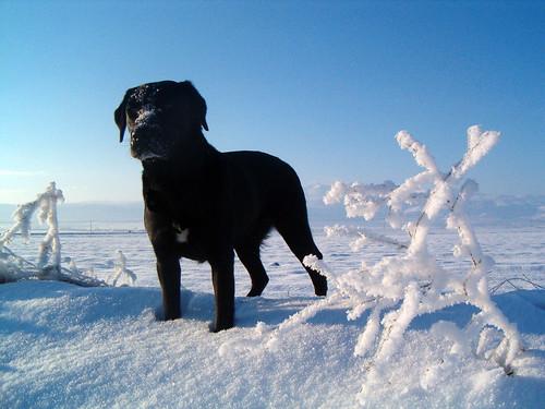 Un perro quizá en Finlandia, con todo nevadito