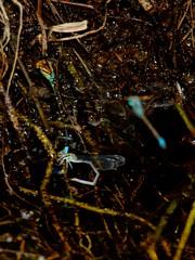 Pseudagrion punctum damselflies oviposit on canal bank (Bob Reimer) Tags: mauritius damselfly odonata pamplemousses zygoptera oviposit sirseewoosagurramgoolambotanicalgardens pseudagrionpunctum