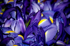 Irises - by joymichelle