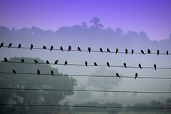 Birds on wires (K. Shreesh) Tags: india topf25 birds searchthebest explorer maharashtra alibaug nagaon naturesfinest sonydsch1 25faves abigfave superaplus superbmasterpiece goldenphotographer diamondclassphotographer flickrdiamond