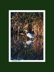 Great Blue Heron Reflection (~MAMA Z~) Tags: reflection birds framed greatblueheron marshland gbh picswithframes comparisonphoto