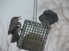 Back off starling!