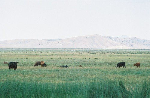 Potts' Hot Springs-Cows