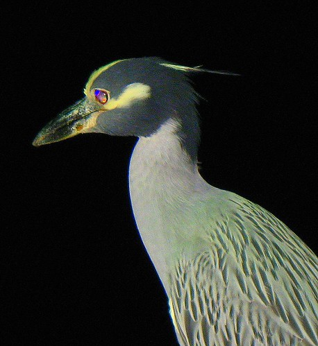 Yellow-crowned Night Heron, Andros Island The Bahamas- 4am