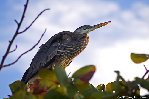 Heron; Photography by Troy Thomas