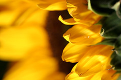 Yellow edge (LyleUGA) Tags: flower macro field yellow closeup canon garden bravo dof 10d sunflower 100 28 shallow speedlight depth 10028 430ex strobist lyleuga