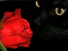 Stop And Smell The Roses! (shesnuckinfuts) Tags: flowers red cats pets black animals rose contrast cat eyes smell furryfriday inky supershot cc200 cc500 animaladdiction abigfave shesnuckinfuts bestofcats february2007 impressedbeauty cat900 gggeyes boc0307 potwkkc30 gggflower