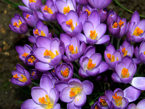 This Year's  Crocus
