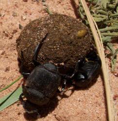 beetleball