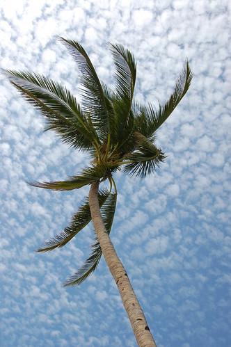 Boracay Palm