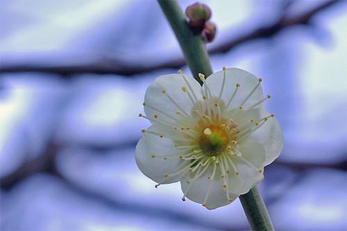 Yushima plum01