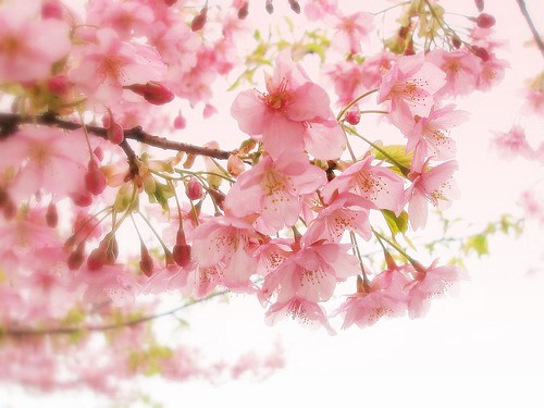 Cherry blossoms in the  rain 2 da tanakawho.