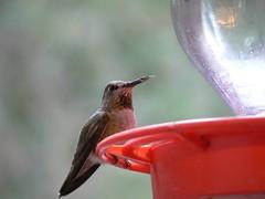 Allen's Hummingbird ??