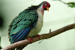 Jambu Fruit Dove - by dbarronoss