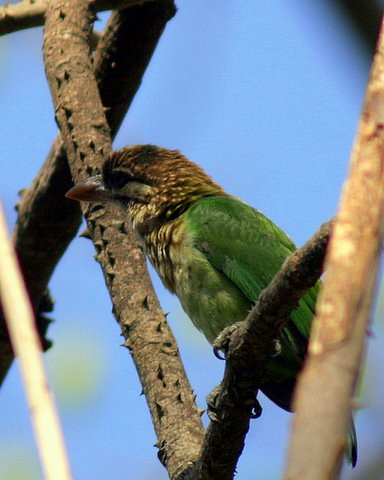 White-cheeked Barbet Lalbagh 7 mar07