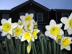 Homeward bound... (KirscheTortschen) Tags: uk home yellow garden spring dusk daffodil naturesfinest abigfave superbmasterpiece