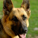 1German-Shepherd