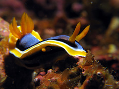 Nudibranch - Chromodoris annae (The Sprain) Tags: canon ilovenature underwater philippines scuba diving powershot nudibranch malapascua chromodoris chromodorisannae annae a640 powershota640