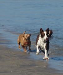 Tess & friend (Cyn Reynolds) Tags: rescue dog playing dogs sandiego crop bordercollie sharpen dogbeach 2007 dscf828 snipshot
