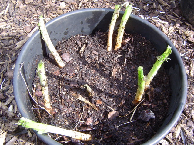Replanted welsh onions