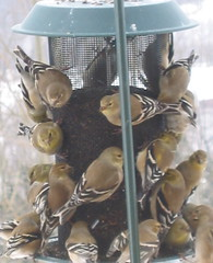 Crowded thistle feeder