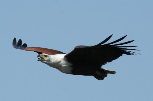 African Fish-Eagle Haliaeetus vocifer