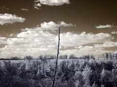 stick up (zachstern) Tags: wallpaper sky usa tree clouds ir arbol branch tr maryland boom rbol infrared  albero tre puu arbre rvore strom baum trd  infravermelho r72 copac infrarot   drzewo   stablo infrarrojos   infrapuna infrarood infrarouge  infrarossi   colorphotoaward f717ir flickrdiamond  inframerah     infravrs infraerven