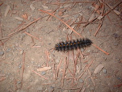 a catterpillar on the trail