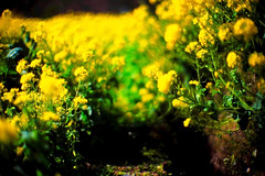 #01 tunnel of spring (moaan) Tags: life green yellow 50mm march spring dof bokeh tunnel 2007 rvp f095 rapeblossoms fujivelvia canon7 canonf095 fujirvp inlife canon50mmf095 gettyimagesjapanq1 gettyimagesjapanq2