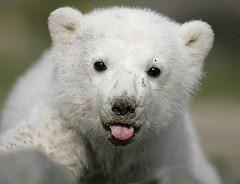 klein Knut , little icebear baby knut
