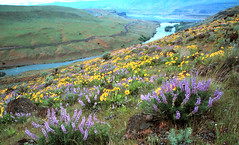 Deschutes River Lupine (Stephen P. Johnson) Tags: flowers oregon wow river columbia deschutes lupine naturesfinest specland myexplore